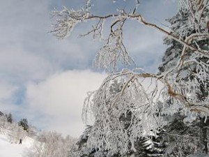見ていると霧氷で綺麗、でも木は耐えているのでしょうか