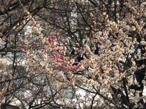 ほのかの香りの梅の大木