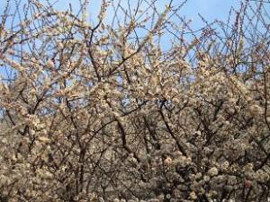 ご近所の梅の花