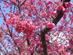 河津の緋寒桜