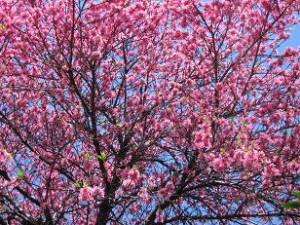 菊桃の大木、圧巻です