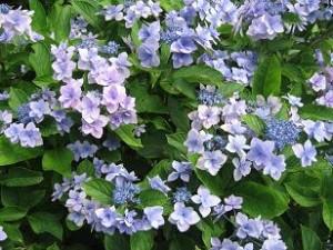 8月でも涼しげに咲いているアジサイを発見!