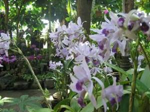 伊豆長岡の洋蘭園のカトレア