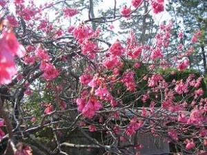 沼津御用邸の寒緋桜が見頃です
