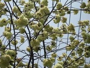 鬱金桜:春らしい若草色で徐々にピンクに・・