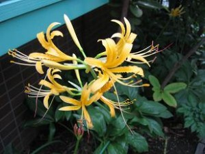 黄色の彼岸花咲きました!