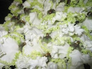 白とグリーンのグラデーションのシクラメン