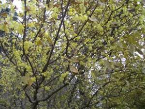 熱海梅園の蝋梅